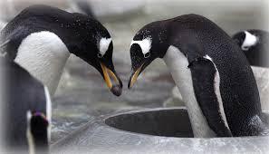 penguin pebble presentation