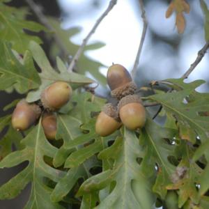 acorns on an oak tree