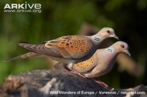 two turtle doves 12 days of christmas
